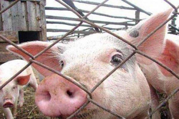 В Крыму зафиксировано появление африканской чумы свиней
