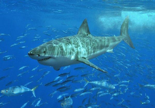 Рыбаки из Владивостока выудили большую белую акулу