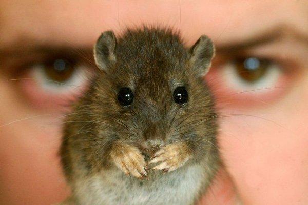 Улицы Львова атаковали огромные крысы