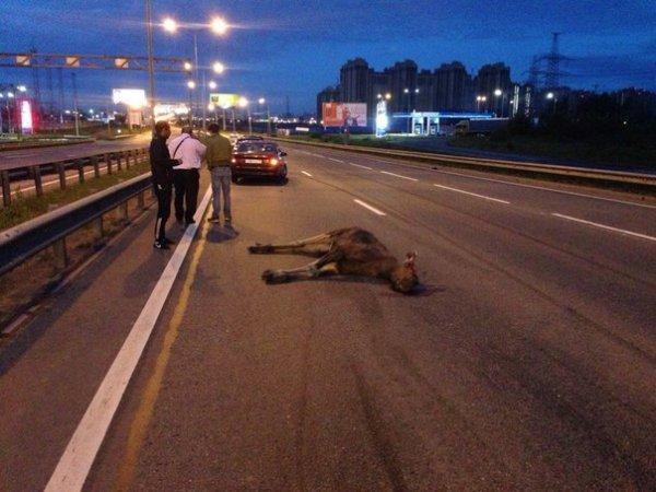 На дороге в Санкт-Петербурге машина сбила лося