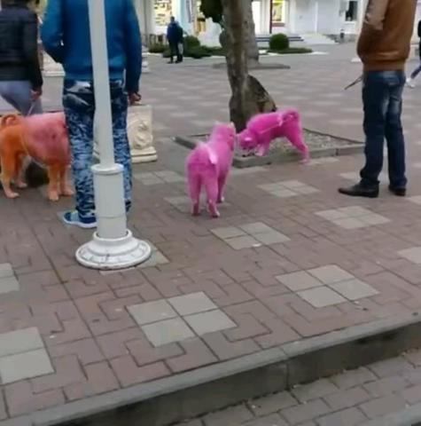 Обнаруженных в Геленджике розовых самоедских собак отправят в приют Минобороны