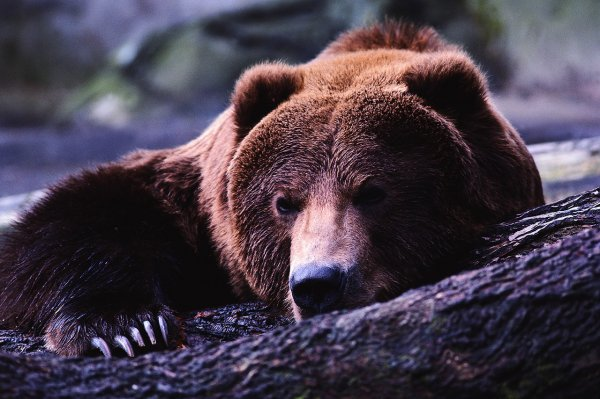 В Кемерово собака спасла хозяина от медведя