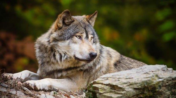 В Ростовской области бешеный волк напал на пасечника