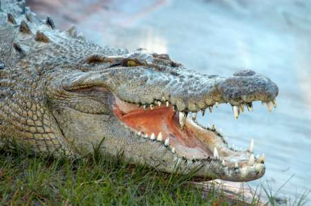 Аллигатор съел упавшего в болото летчика в США. ФОТО, ВИДЕО