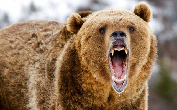 На улицах Петропавловска-Камчатского убили двух медведей