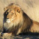 Охотник из США застрелил сына знаменитого льва Сесила