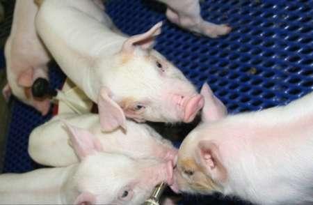 В Омской области ввели режим ЧС из-за африканской чумы свиней