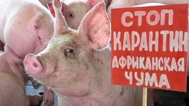 В Псковской области введен карантин из-за африканской чумы свиней