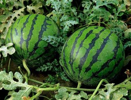 Как выбрать спелый и сладкий арбуз: секреты выбора сочного арбуза