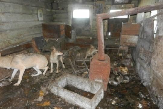 В Чувашии мужчина пугал односельчан волками, которых незаконно держал дома