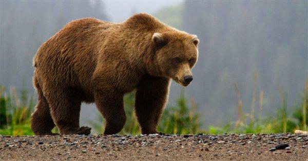 В Иркутской области медведь растерзал геолога из Пензы