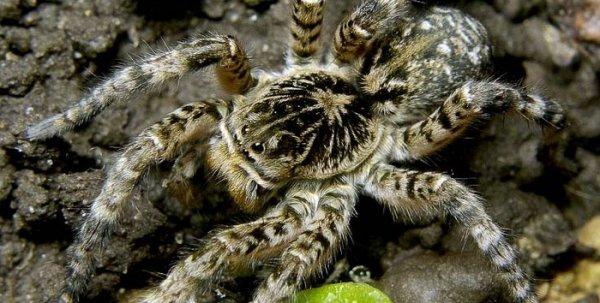 В Копейске жителей ввел в панику южноуральский тарантул