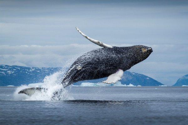 В Хабаровске в устье реки 13-метровый гренландский кит угодил в ловушку