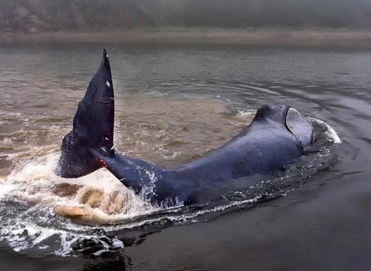 Маленького кита, который застрял под Хабаровском, не хотят спасать