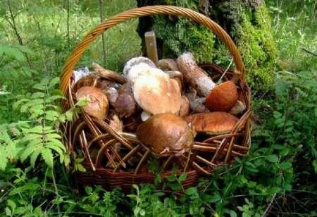 Лесные грибы: как правильно собирать, транспортировать и хранить