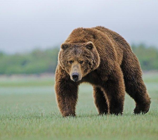 Полицейский застрелил медведя на улице поселка в Красноярском крае