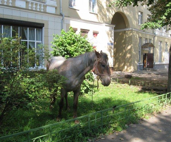 В Смоленске нашёлся пропавший конь