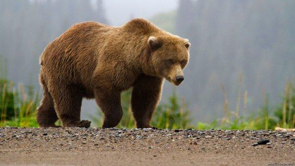 На Сахалине медведь гулял по городу в поисках пищи