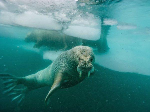 Тренер из Приморского океанариума потерял работу за избиение моржа Миши