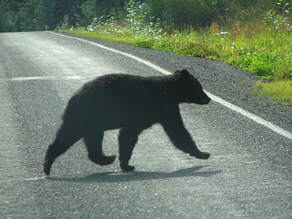 Три человека погибли при столкновении фургона с медведем в США