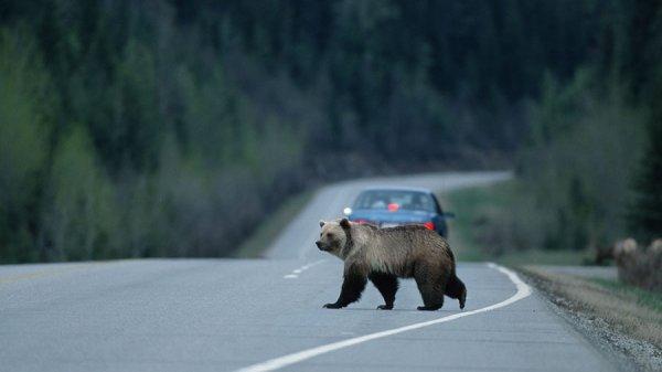 Жителей Камчатки предупредили о гуляющем на улицах медведе