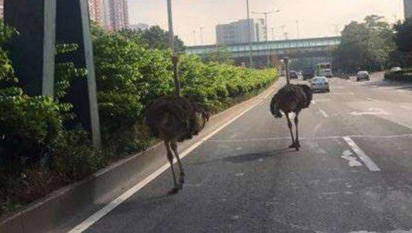Сбежавшие из фермы страусы устроили переполох на китайской автостраде