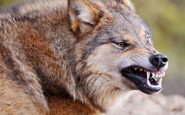 Волки съели щенка на крыльце дома в Кировской области