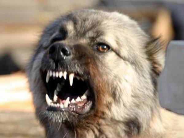 В Мурманске бездомная собака покусала девочку