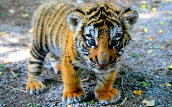 В Хабаровском крае обнаружили мертвого двухмесячного тигренка