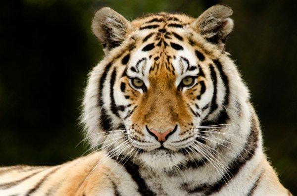 В московском цирке тигр напал на сотрудницу