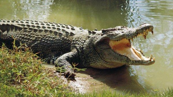 В Австралии крокодил напал на охотников