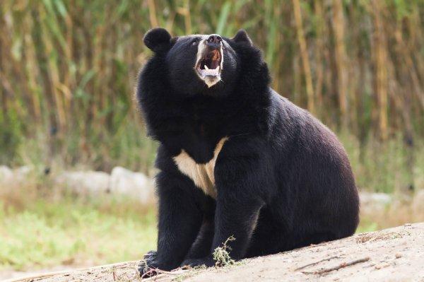 В нацпарке Приморья гималайский медведь извлек карту памяти из фотоловушки