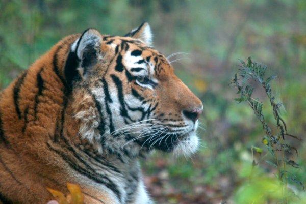 В Хабаровском крае тигр загрыз мужчину