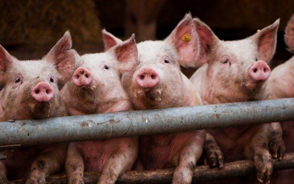 Под Челябинском введен режим ЧС в связи с африканской чумой свиней