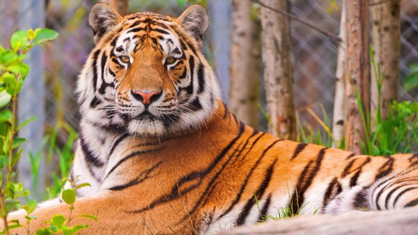 В Калининграде тигр напал на работника зоопарка