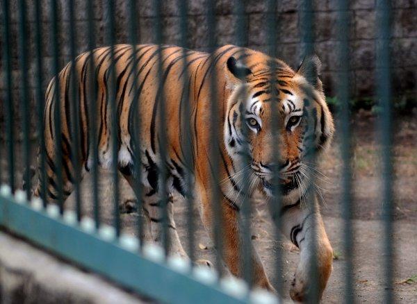 В Минздраве сообщили о состоянии сотрудницы зоопарка Калининграда, на которую напал тигр