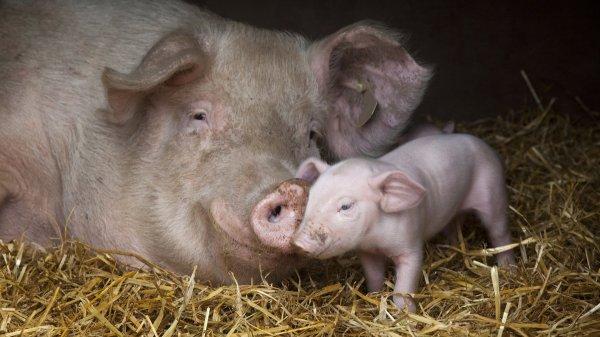 В Курганской области обнаружили африканскую чуму свиней