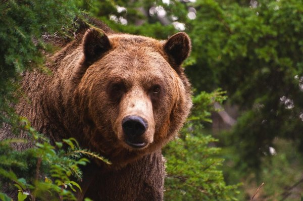 Медведь похитил у охотника два ружья в Иркутской области