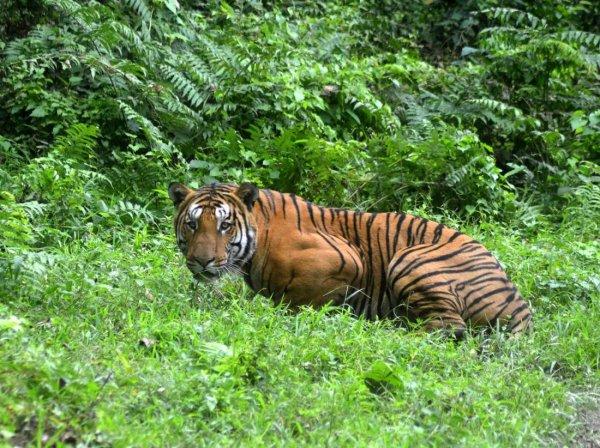 На видео попало нападение тигра на пожилого мужчину