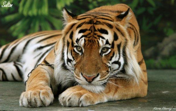 В Китае во цирке во время представления тигр напал на зрителей