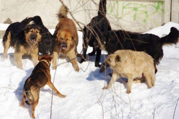 В Якутии на девочку набросилась стая собак