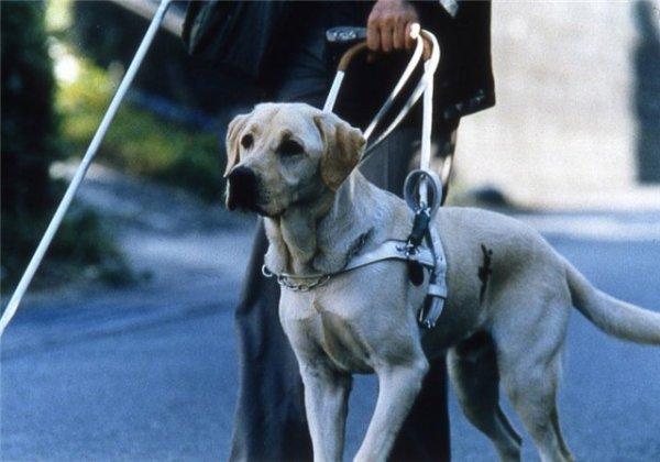 В Ульяновске инвалидов с собаками-поводырями отказались пускать в автобус