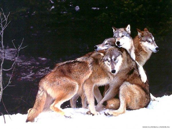 В Коми жителей атаковали волки