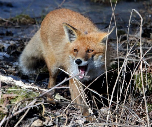 В Ростовской области охотники застрелили трёх бешеных лисиц
