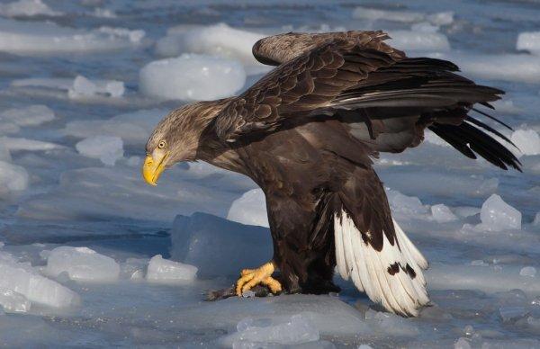 Краснокнижного орлана спасли с нефтяной платформы на Сахалине