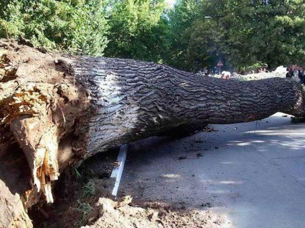 В Ростове два дерева рухнули во дворе жилого дома