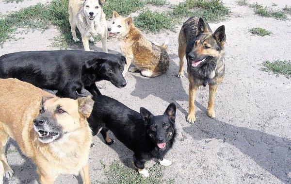 В Прикамье школьницу искусала стая собак