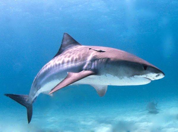 Рыбак сумел выловить огромную тупорылую беременную акулу