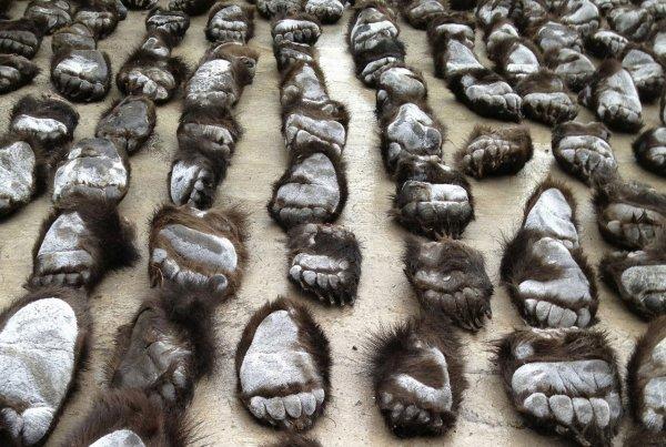 При обыске машины в Забайкалье у мужчины было найдено 500 медвежьих лап