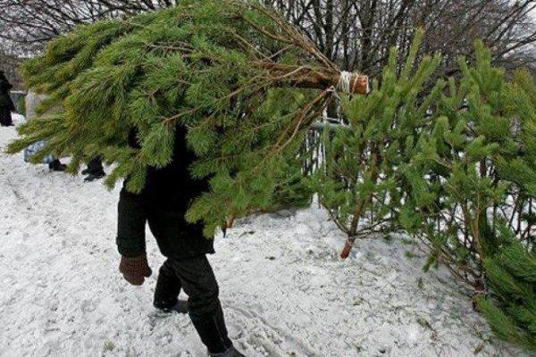 Чиновники в Челябинске срубили без спроса ёлку у местной жительницы